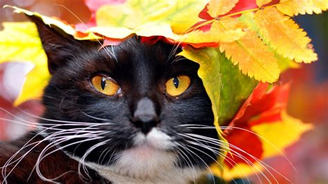 wallpaper cat autumn autumn cat wallpaper and background image 1366x768 id