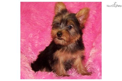 yorkie carrier pin parti carrier yorkie on