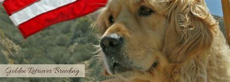 california golden retriever golden retriever puppies vizsla puppies golden kennel