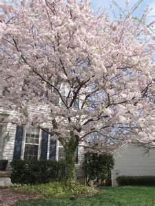 flowering cherry trees craft creekside learning