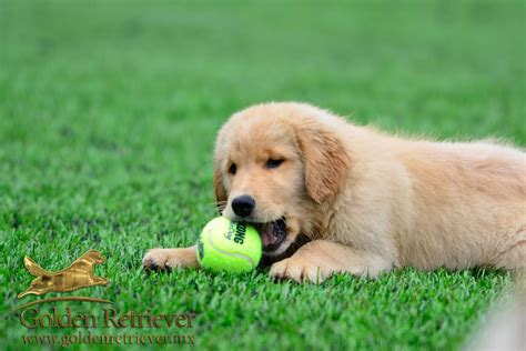 real golden retriever cachorros golden retriever en mexico golden retriever mexico