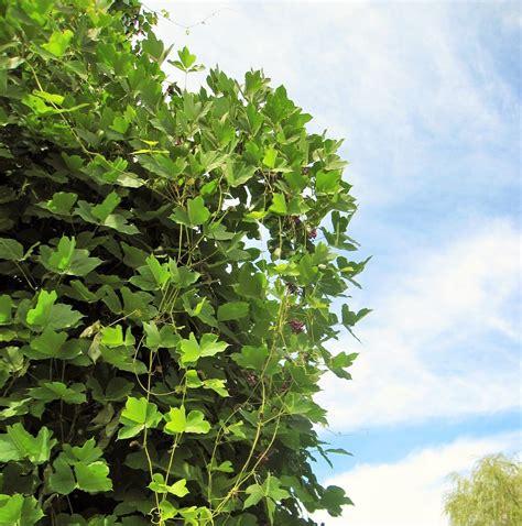 invasive vines go native long island