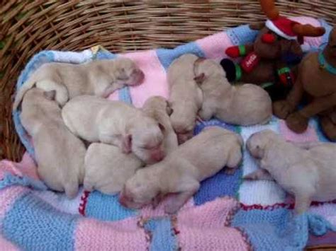1 day puppies 1 day labrador puppies