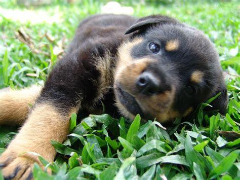 perros rottweiler cachorros rottweiler fotos tu amigo el perro