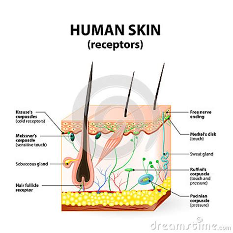 vertical section of human skin human skin layer vector cross section stock vector image