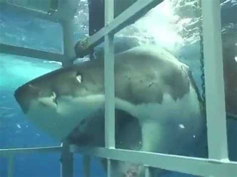 great white shark attacks cage monster great white shark attacks cage diver youtube
