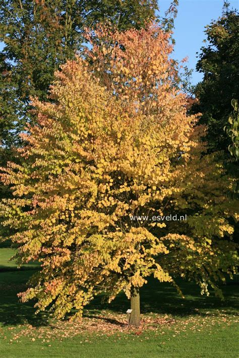 pictures and description of cercidiphyllum japonicum heronswood globe www esveld nl