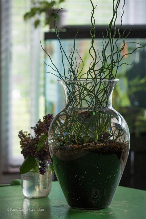 corkscrew rush juncus effusus spiralis  water indoor