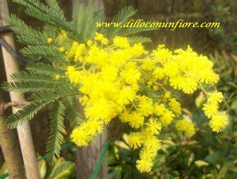 immagine di mimosa fiore sfondi per il desktop a tema floreale sfondi di natale