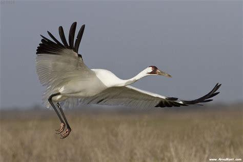 aransas whooping cranes