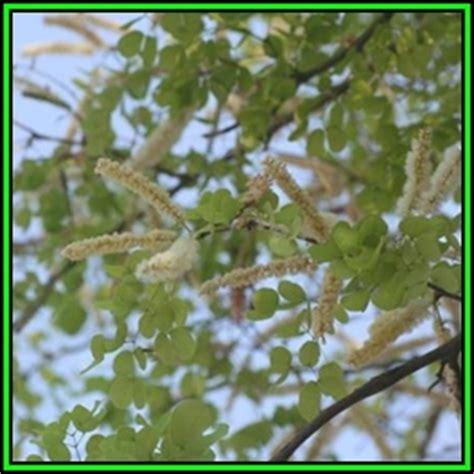 Knob Acacia by Deciduous Acacia Nigrescens Knob Tree
