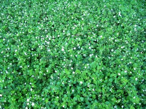 ground cover with small leaves and white flowers