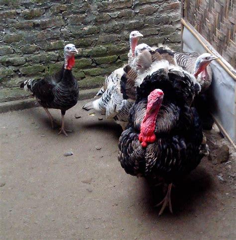 Jual Bibit Ayam Broiler Di Bandung harga jual ayam kalkun di daerah semarang jakarta