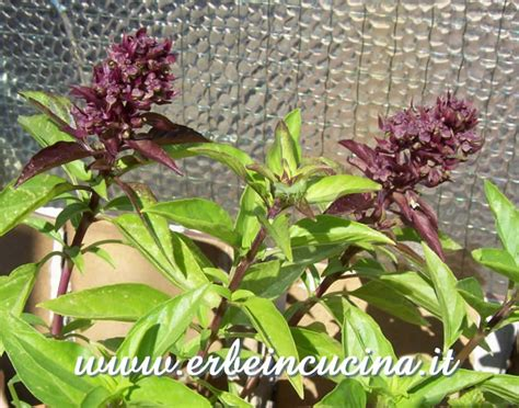 fiori basilico erbe in cucina photo gallery basilico thai