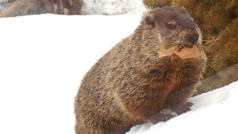 groundhog day history caa news caa the history and traditions of groundhog
