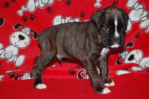 6 week boxer puppy diesel clara puppies j s boxers chion european german american
