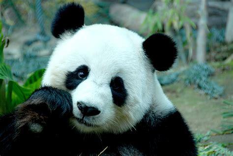 panda china pin panda wielka on