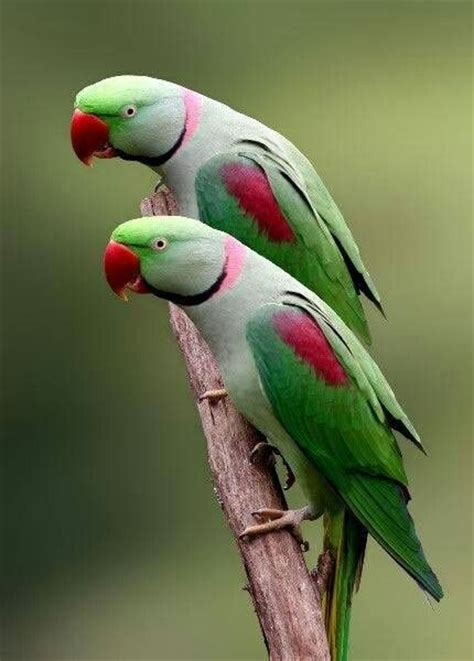 17 best images about indian ringneck on pinterest parks photographs and antiques