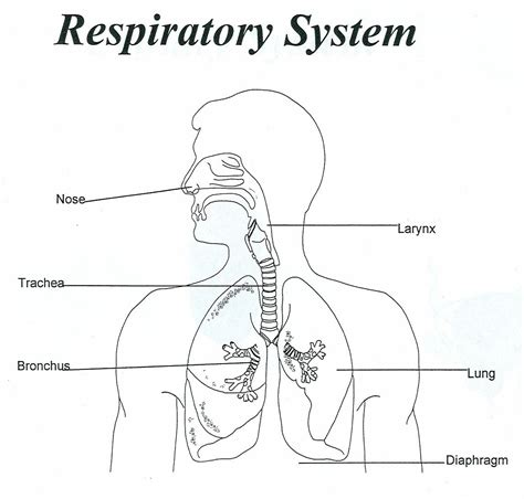 printable coloring pages respiratory system respiratory system coloring page coloring home