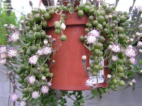 String Flower - string of pearls plant flower www pixshark images