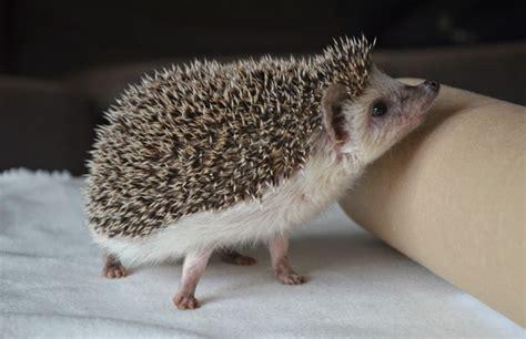 ever so juliet uk lifestyle beauty baking blog my pet hedgehog