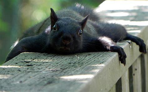 squirrel hung by nuts czarna wiewi 243 rka