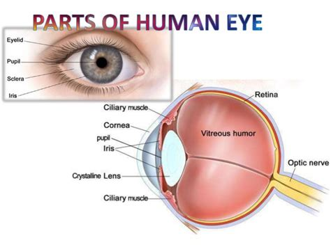 what part of the eye sees color human eye and working of human eye