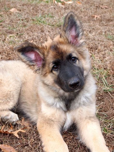 shiloh shepherd puppies 10 best images about shiloh shepherd on german shepherd puppies