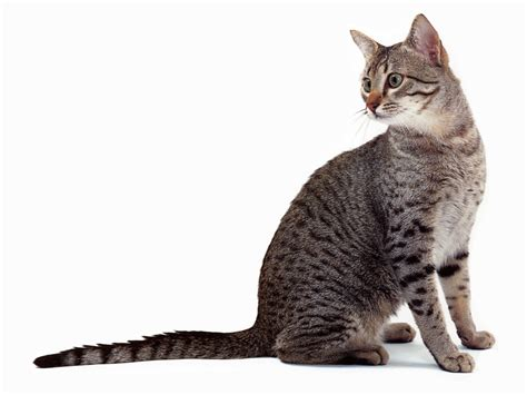 types of cats cat breeds a to z cats types