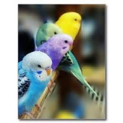 budgie colors 1000 images about parakeets on parakeet