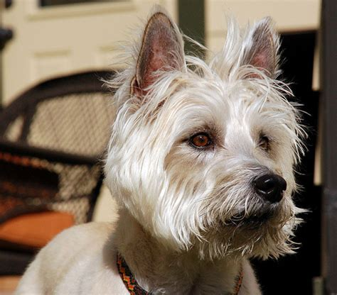 do cairn terriers get their hair cut or shaved cairn terrier dog breed the paw blog
