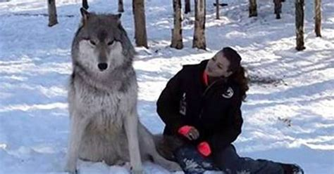 big wolf sits next to woman seconds later it looks her