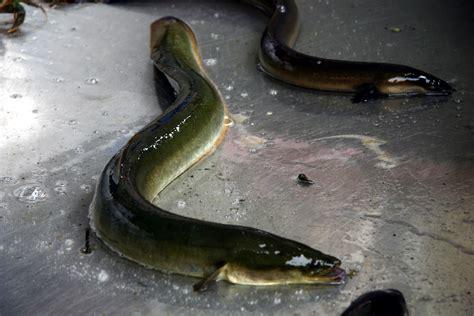 pesce testa di serpente criptosito cressie