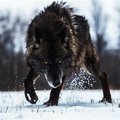 wolf wallpaper pinterest ready to attack wolves pinterest wolves black