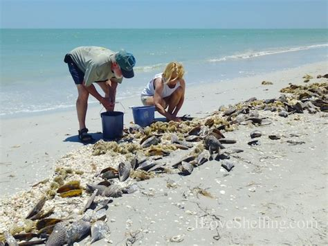 best beaches for seashells seashell shellabaloo sanibel shelling guide shell trip