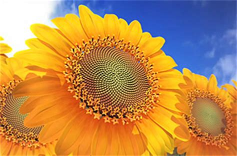 sunflower fibonacci sequence golden section mathematics of life and nature the voice blog