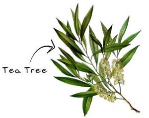 quot tea tree oil for head lice quot just another reason why i