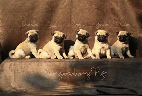 pug puppies price in bangalore pug puppies for sale eak 1 1987 dogs for sale price of puppies dogspot in