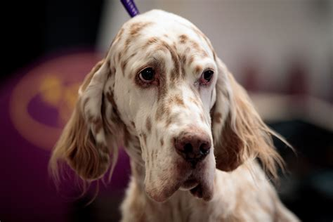 english setter dog show rumor the german shepherd wins best in show at 2017