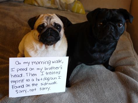what are pugs used for pug shaming