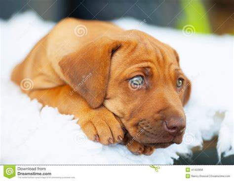 are all puppies born with blue rhodesian ridgeback puppy with blue stock photo image of born communication
