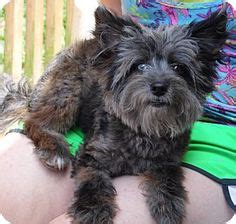 yorkie nj new jersey yorkie rescue adoptions rescueme org adopt a puppy save a