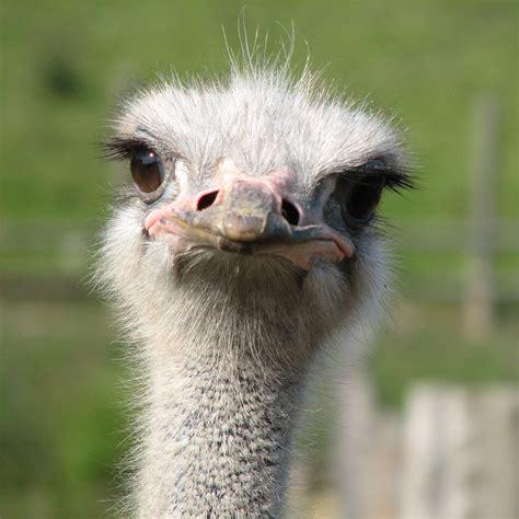 Ostrich Memes - ostrich facts ostriches african animals