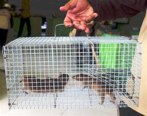 membuat perangkap tikus di rumah perangkap tikus ampuh bebeja com