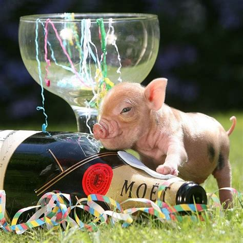new year for the pig the 20 heartwarming pictures of baby pigs you need to see
