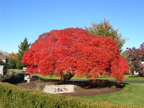 large japanese maple