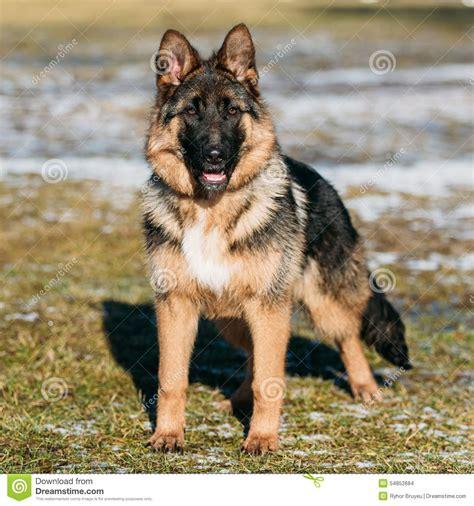 Berger Brown beautiful brown german shepherd puppy stock
