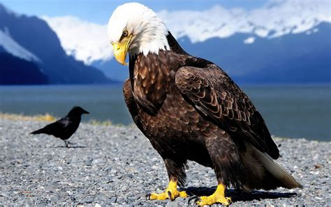 eagles birds wallpaper 777720