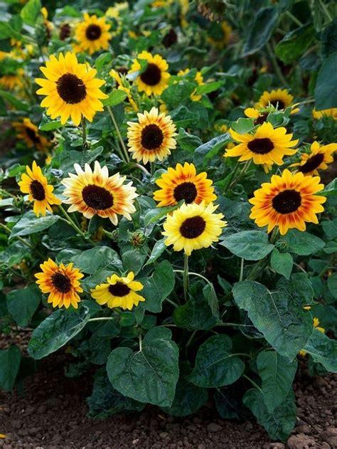 sunflowers  grow   locations  full sun