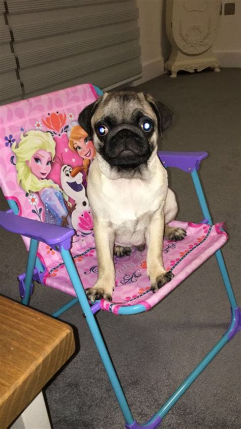 pug 4 months nearly 4 months pug sheerness kent pets4homes